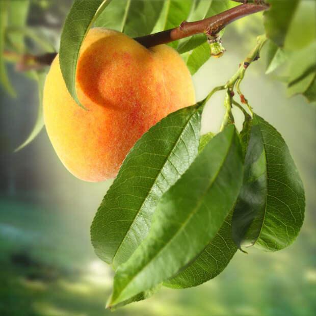 Сорта невымерзающих персиков