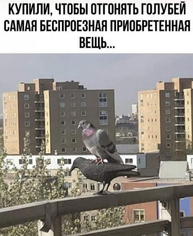 Возможно, это изображение (текст «купили, чтобы отгонять голубей самая беспроезная приобретенная вещь...»)