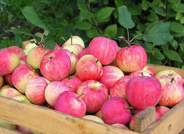 Как сохранить яблоки зимних сортов