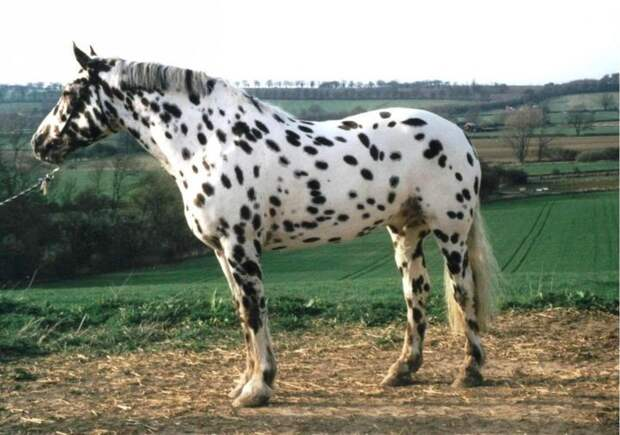 Леопардовая животные, лошадь
