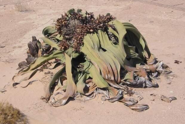 Самое аскетичное растение- вельвичия. интересное, природа, растения, цветы
