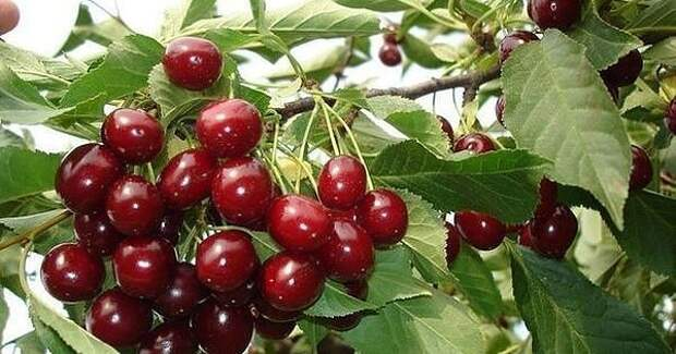Эти подкормки многократно увеличат урожай вишни!
