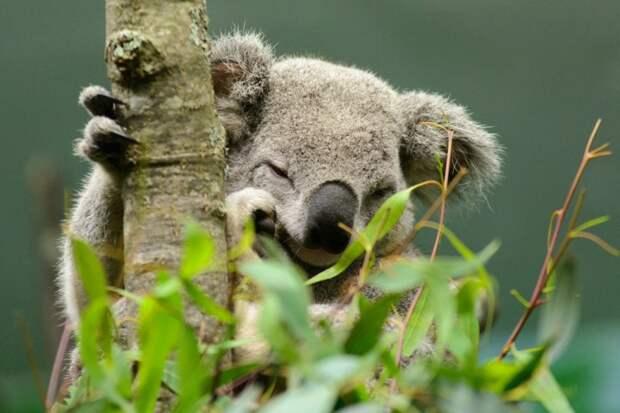у коал человеческие отпечатки