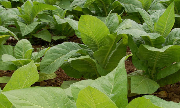 Выращивание табака – дело хлопотное, но интересное