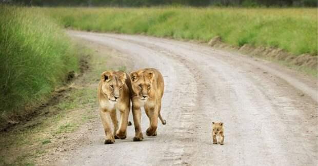 родители животные с их детенышами  лев