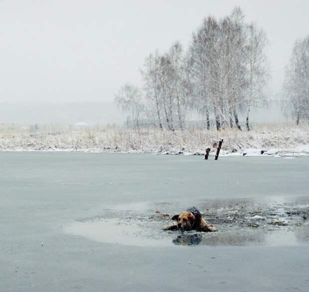 Первое, что сделал спустившись к воде, стал звать пса к себе. Он сначала повелся и стал пытаться ползти по ломающемуся льду в мою сторону.  животные, история, спасение