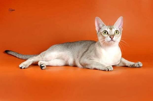 Сингарупа, сингапурская кошка, фото породы кошек фотография