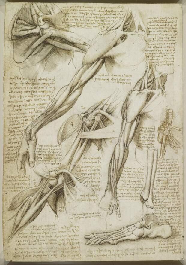Анатомические рисунки Леонардо да Винчи: Как выглядят результаты вскрытий и других экспериментов Гения