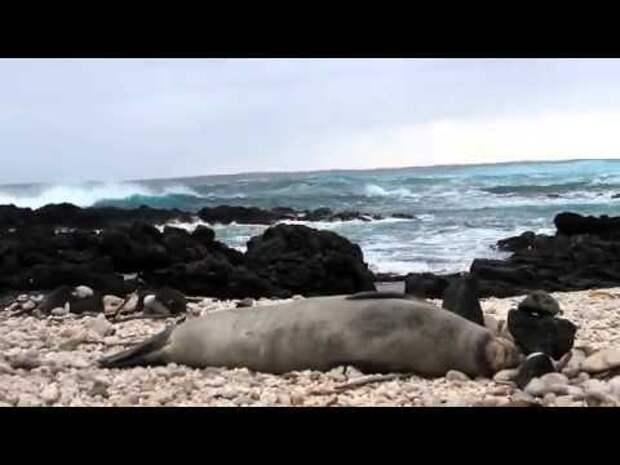 Как чихает тюлень