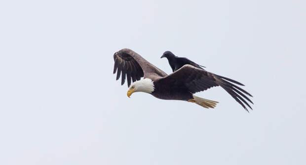 Ворона катается на спине лысого орла, Вашингтон, США