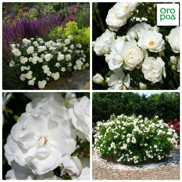 розы доминик луазо