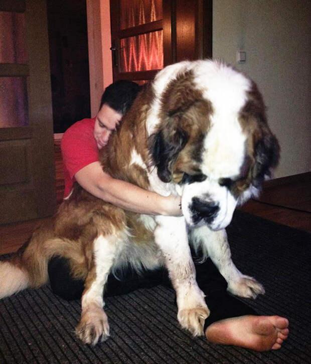 16. Настоящий гигант  размер, собака
