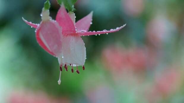 Скачать обои цветы, розовые, фуксия, макро, роса, капли, бут…
