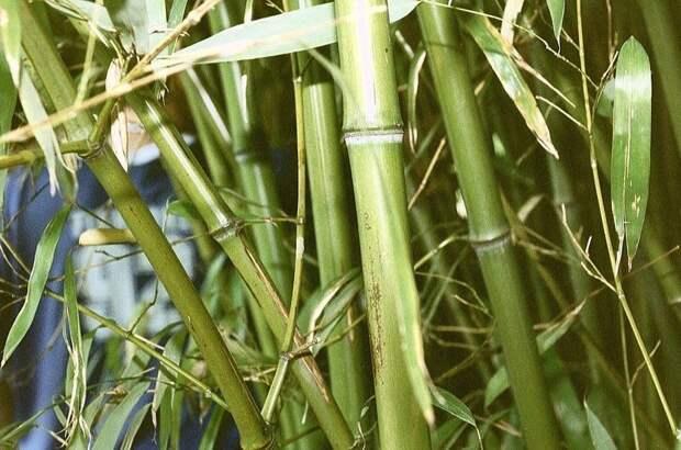 Легковозобновляемые породы - Бамбук деревья, древесина, интересное, природа, факты