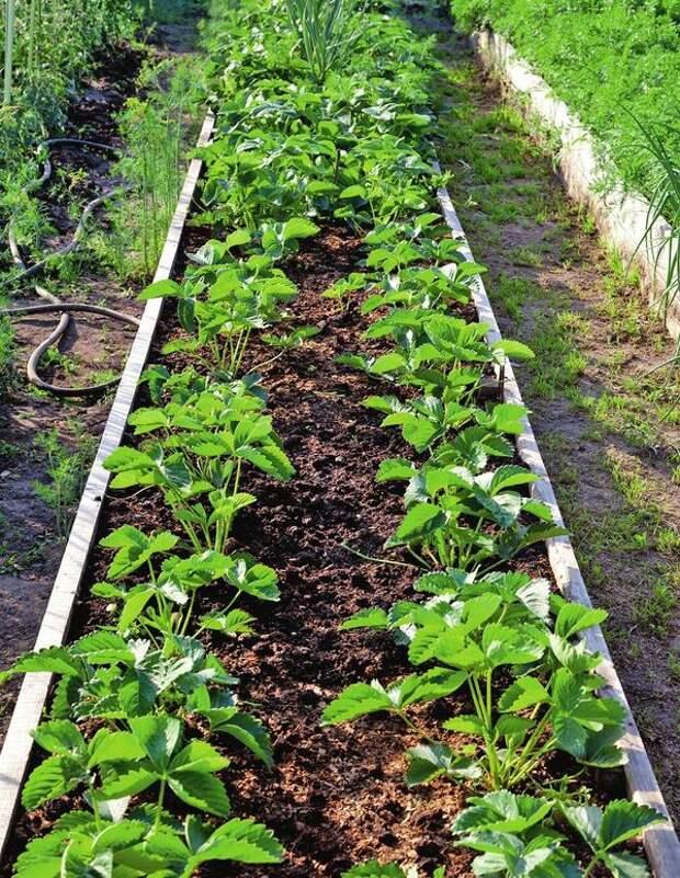 Достоинство способа: уже в первый год — через пару месяцев после посадки — такая клубника дает очень хороший урожай ягод, больше в два и более раза, нежели обычная, которую размножают усами.