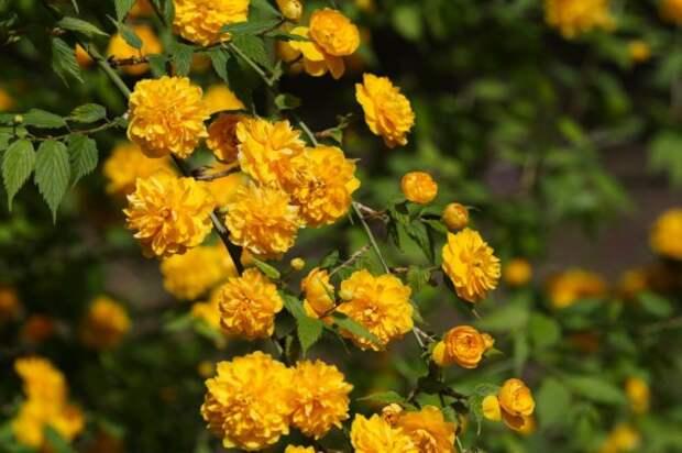 Kerria-japonica-520x346 (520x346, 56Kb)