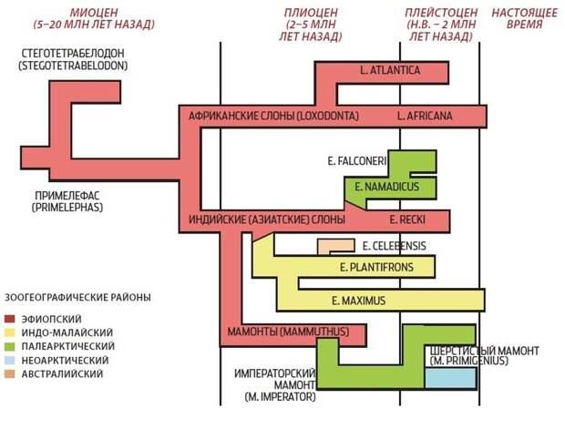 Фамильное древо. Упрощенное генеалогическое древо семейства слоновых.