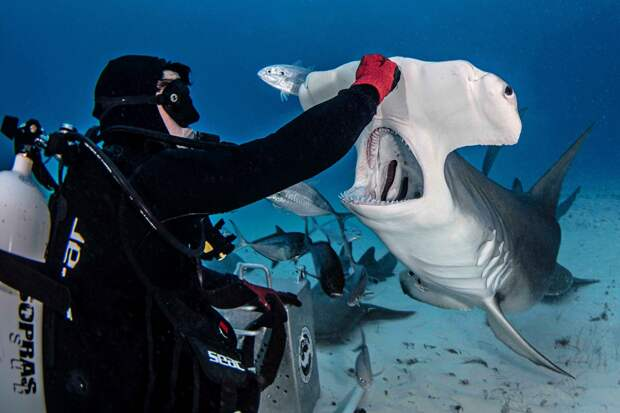 Храбрые дайверы кормят гигантскую акулу-молот, одного из самых агрессивных морских хищников