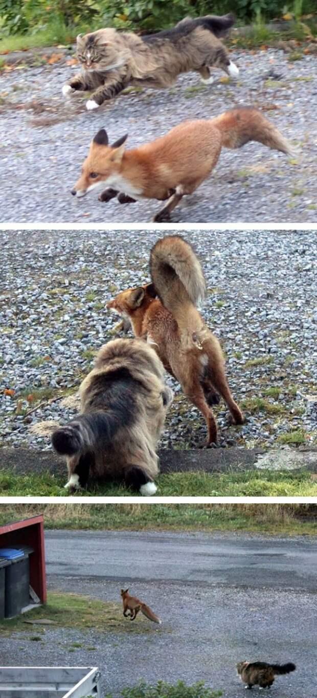 """7. Забудьте о мультфильме """"Лис и пёс"""" - теперь у вас есть лис и кот! животные, коты, милота, огромные коты"""