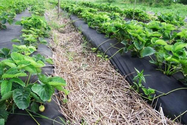 Мульчирование спанбондом позволяет создать оптимальный микроклимат, при котором почва не будет пересыхать и выветриваться