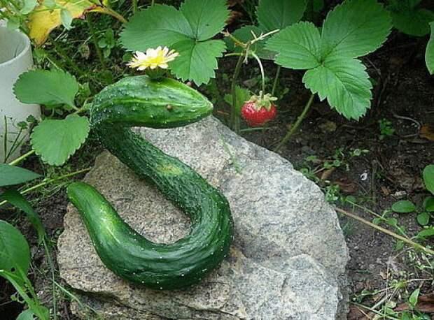 А этот, хоть и не самый большой, но уж точно самый необычный из огурцов. огород, самые большие овощи, урожай