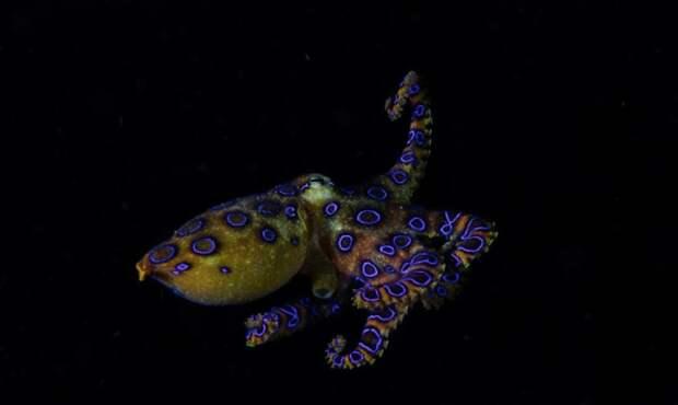 Синекольчатый осьминог (лат. Hapalochlaena)