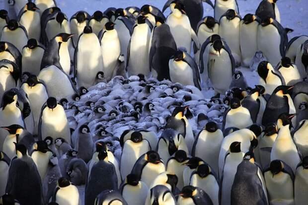 родители животные с их детенышами  пингвины