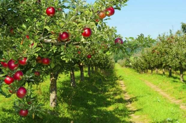 Сад-гигант на Кубани – это самый большой фруктовый сад в Европе