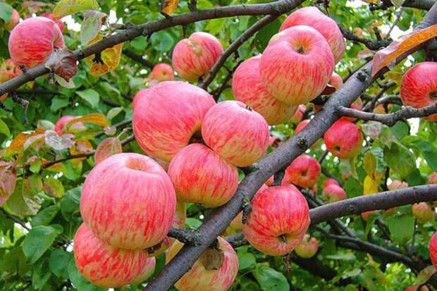 Полезные свойства яблок: Польза яблок, витамины в яблоках