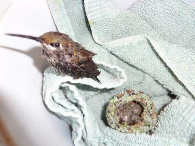 Спасенные птенцы колибри – самое симпатичное из всего, что вы когда-либо видели колибри, птички, спасение