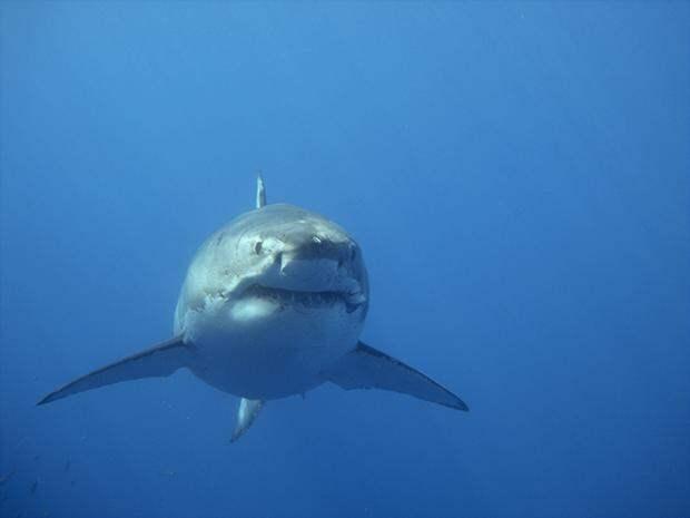 Белая акула - самый древний хищник
