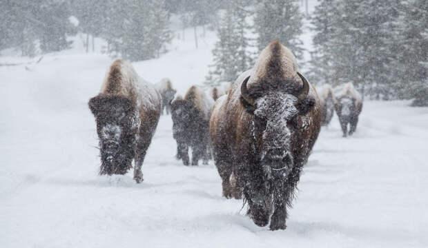 Снежные бизоны