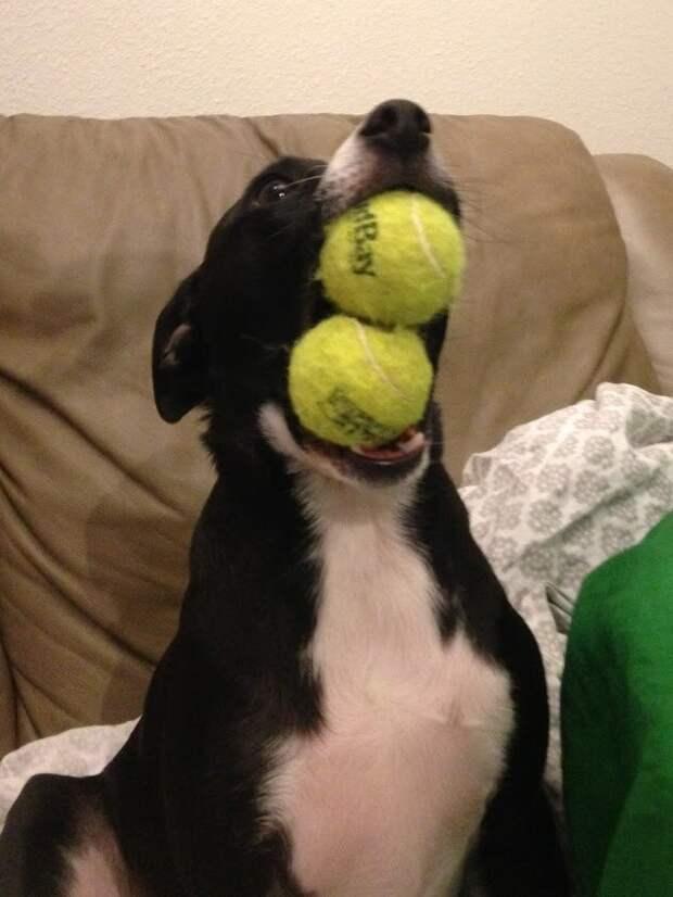 17. «Он очень горд тем, что может удержать два мяча» домашний питомец, животные, позитив, прикол, собака, умора