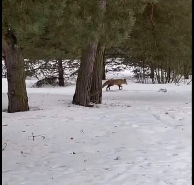 Фото дня: лисица в бору
