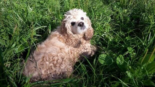 По лесу в полном одиночестве бродил заросший спаниель коккер-спаниель, породистая собака, спаниель