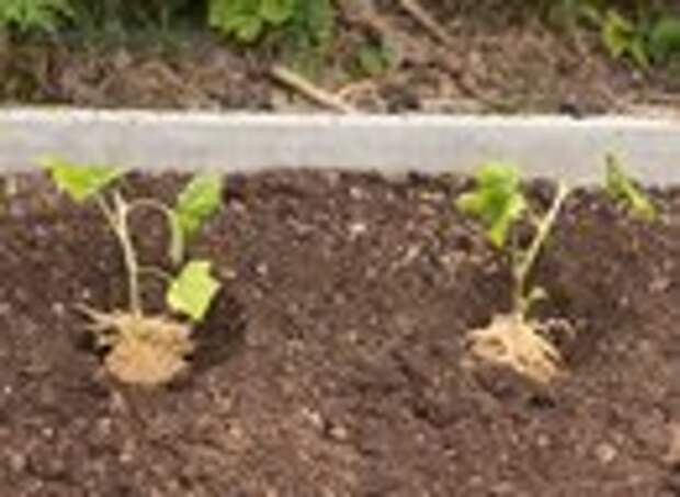 Черная смородина - размножение зелеными черенками