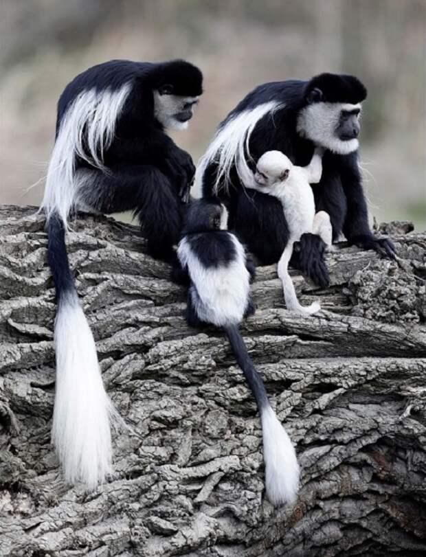 У обезьяны по кличке Люсия это уже 9 малыш.