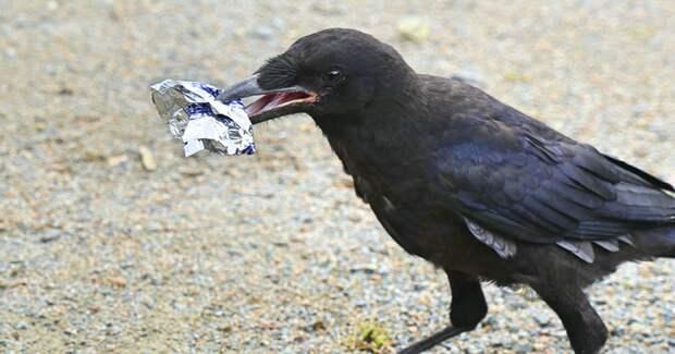 В историческом тематическом парке Пюи-дю-Фу в регионе Вандея, Франция, работают грачи ворон, животные, парк, помощь, птица, уборка, франция