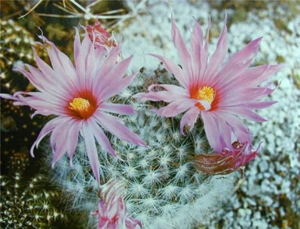 Легенда о редком цветении кактусов