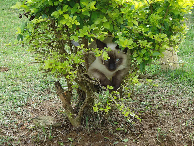 Сиамские кошки. Красивые фото. Кот залег в кустах