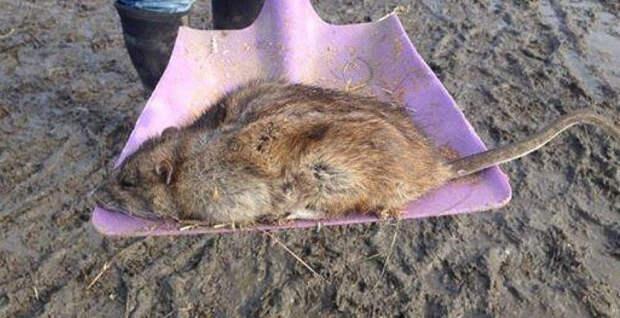 Крысы-мутанты заполонили Великобританию