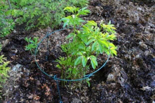 мульчевание участка газетами и опилками 3: Органическое земледелие, пермакультура