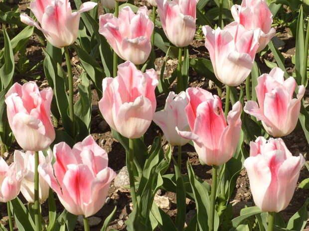 Тюльпан сорт Holland Chic