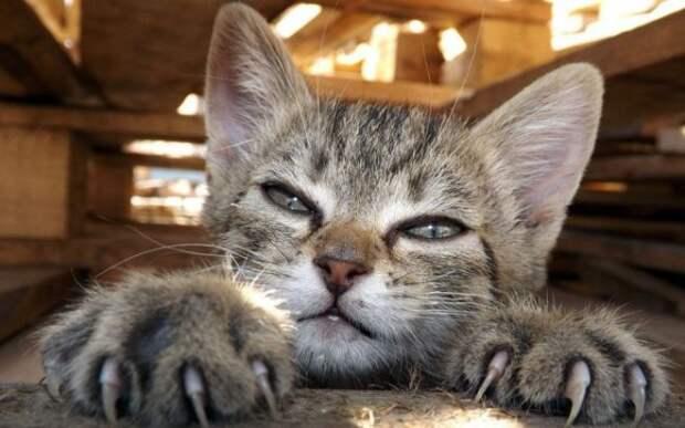 котик показывает когти