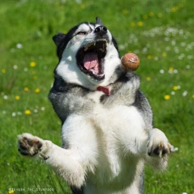 Хаски, который не умеет ловить мячики
