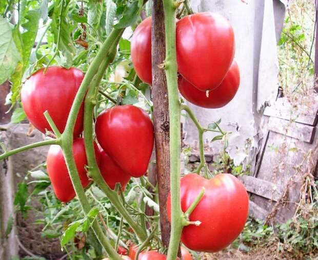 сорт Чудо земли зрелые плоды