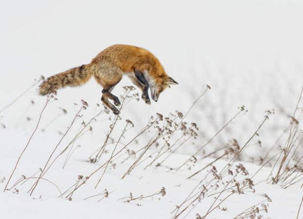 Снежная лиса