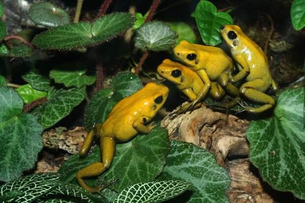 http://images.fotocommunity.fr/photos/animaux/reptiles-amphibiens/accouplements-de-phyllobates-terribilis-493b8b91-747c-465b-ae01-84bac33ab0dd.jpg