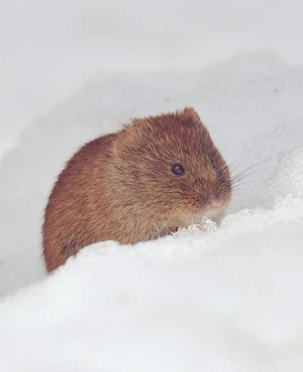 Эзо Наки Усаги  животное, остров, хоккайдо