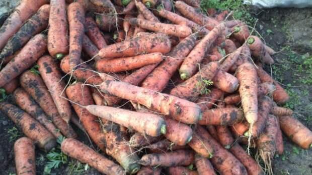 Морковь, готовая к закладке в овощехранилище
